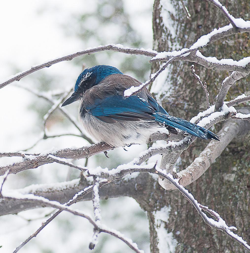 Snowy Scrub Jay