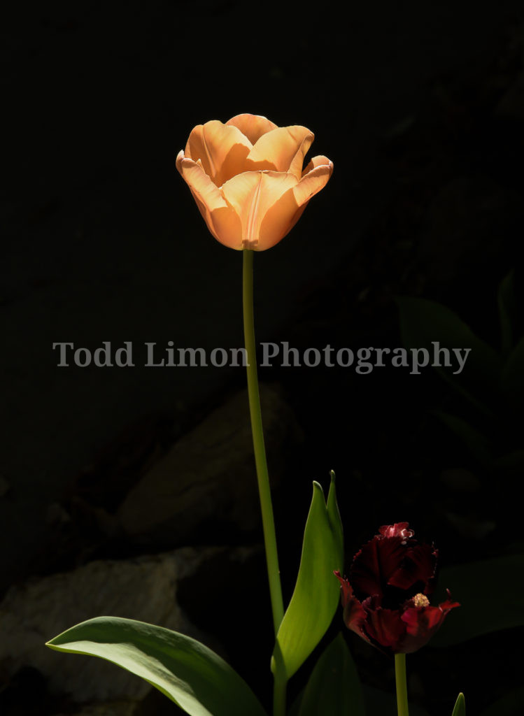 A Touch of Tulip